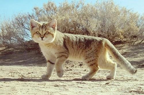 قط الصحراء النادر قط الرمال