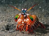 Estampada de verde, azul, laranja e mais outras cores, essa é uma das espécies de lagostas mais coloridas. No entanto, seu nome revela algo que apenas os olhares mais atentos podem ver; um golpe rápido e poderoso.