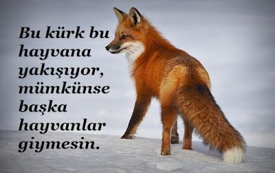 Bu kürk bu hayvana yakışıyor, mümkünse başka hayvanlar giymesin, hayvan hakları, kürk, fox, tilki, yaban hayatı, avcılık, avlanma