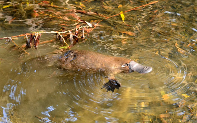 Human pregnancy dependent on cells evolved in platypus-like animal 300 million years ago