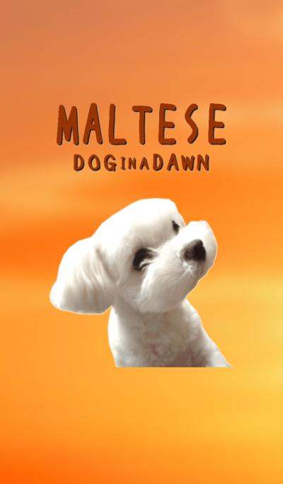 maltese dog in a dawn.(photograph)