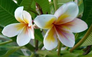 Gambar Bunga Kamboja yang Indah 8