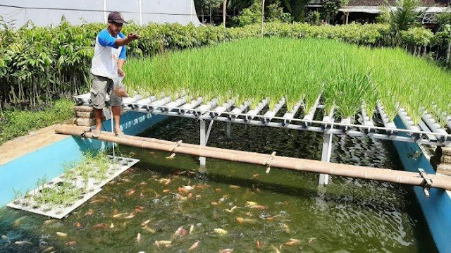 Irul mengkombinasikan kolam ikan dan lahan pertanian padi dengan metode hidrogonik