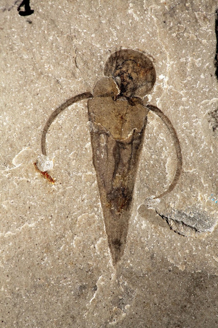 Paleontologists classify mysterious ancient cone-shaped sea creatures