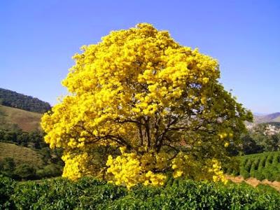 A foto mostra um lindo Ipê amarelo embelezando e perfumando as matas brasileiras na primavera.