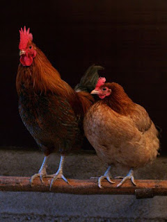 Chicken | Gallus Gallus Domesticus | Red Junglefowl