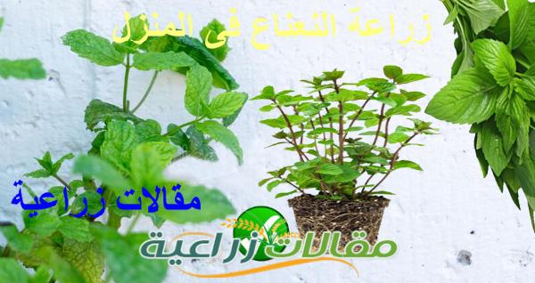 كيفية زراعة النعناع فى المنزل - مقالات زراعية