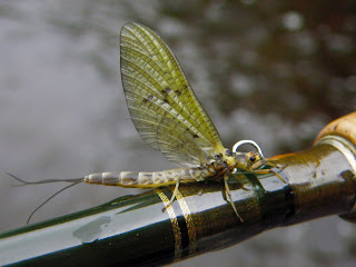 A newly hatched Mayfly on the rod