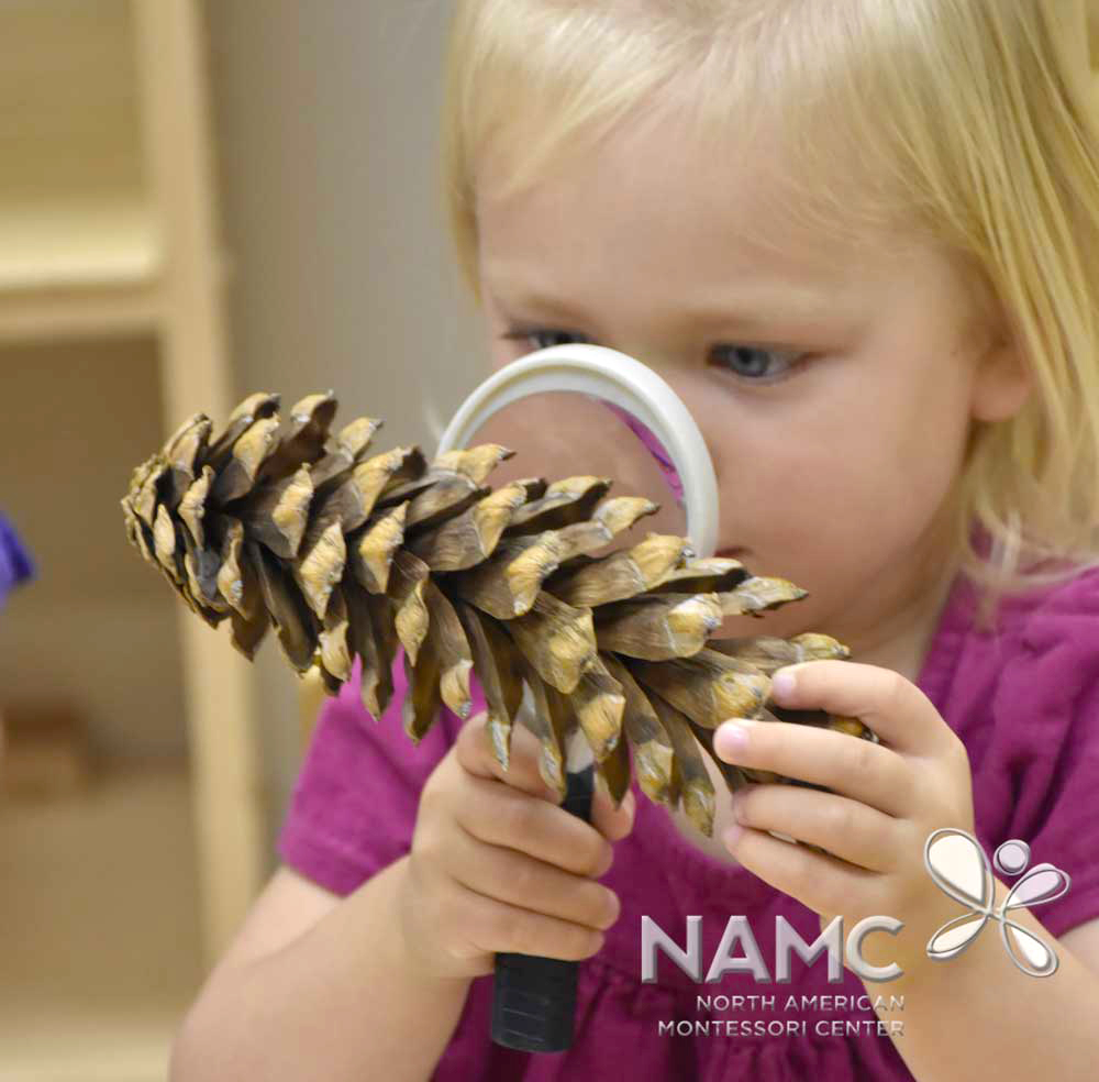 NAMC montessori student looking at pinecone in prepared environment
