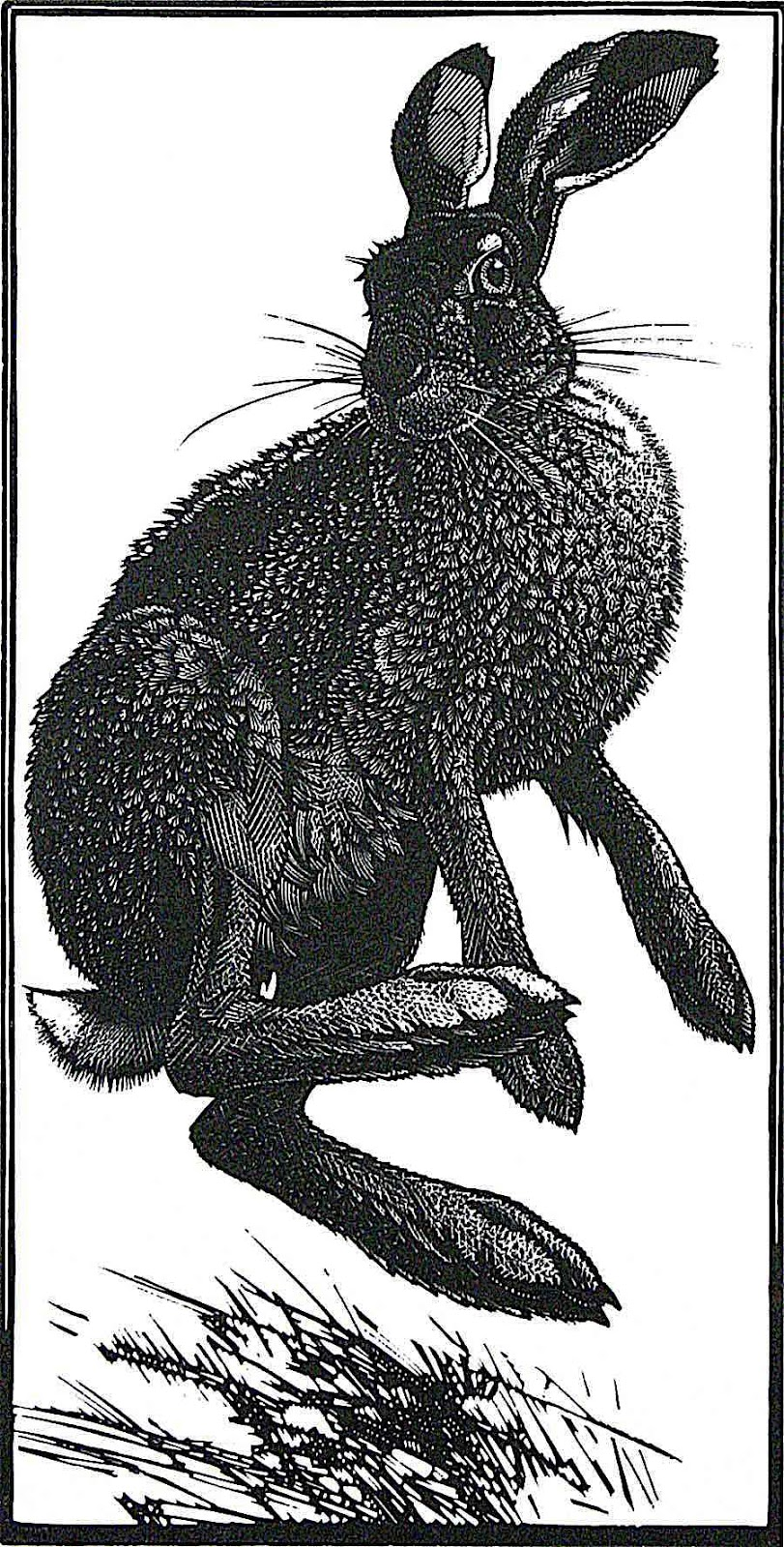 a wild hare by Colin See Paynton ... hares can attack if provoked