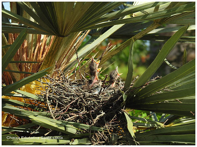 Pichones en el nido reclamando alimento- Chacra Educativa Santa Lucía