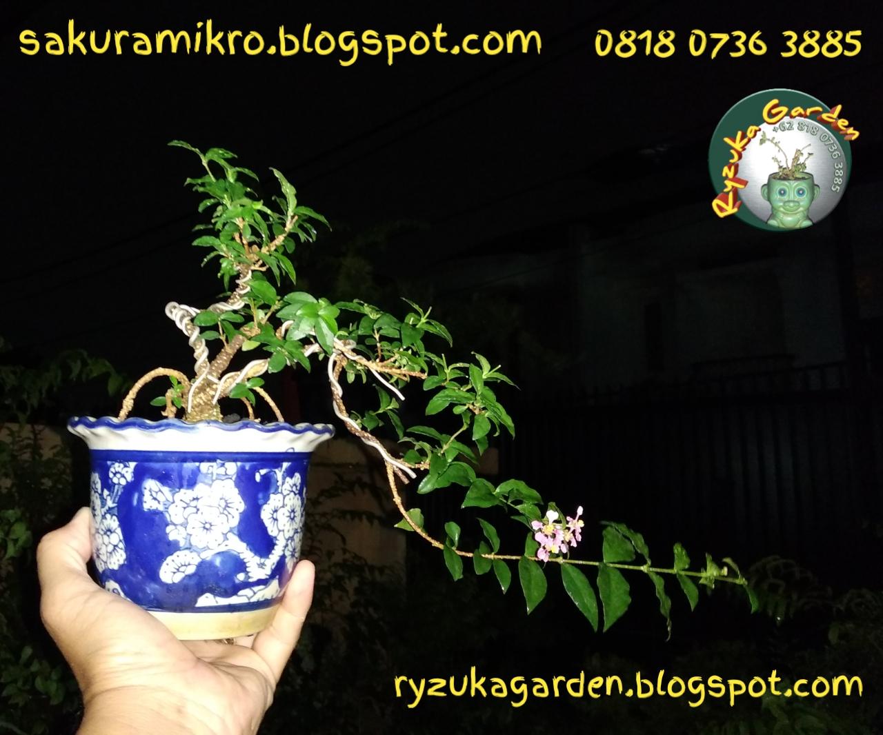 Sakura Mikro Sakura Micro Jual Bonsai Sakura Mikro