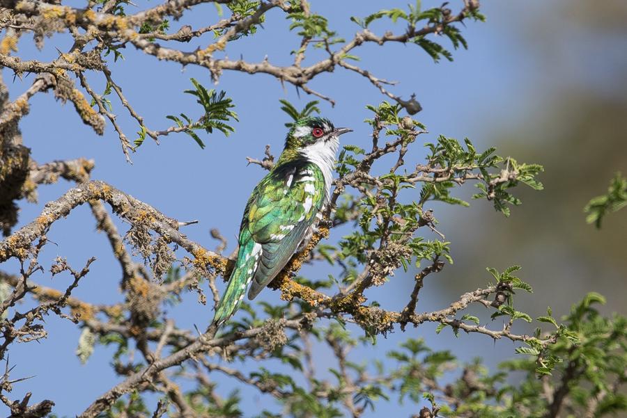 Diederick Cuckoo in Alheefah Park – Tanoumah