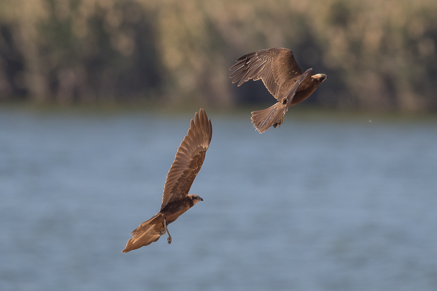 Western Marsh Harrier – Al Asfar Lake