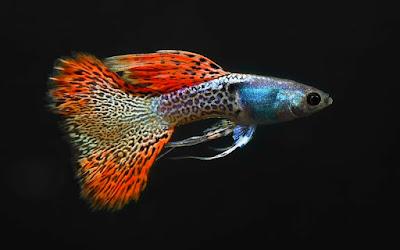 Gambar dan harga terbaru Ikan Guppy Metal Red Lace