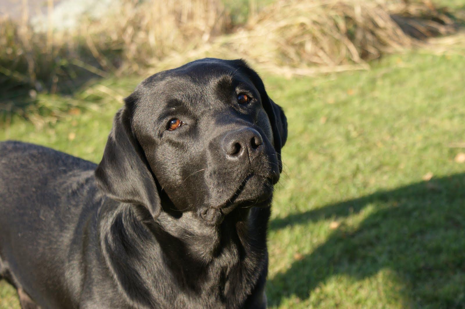 Musta Labradorinnoutaja Pentu