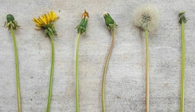 Dandelions at each stage of the dandelion life cycle.