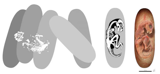 Questa illustrazione mostra come Baby Louie si è fossilizzato sulle uova (a sinistra). Gli altri disegni (a destra) mostrano come sarebbe stato Baby Louie all'interno del suo guscio.
