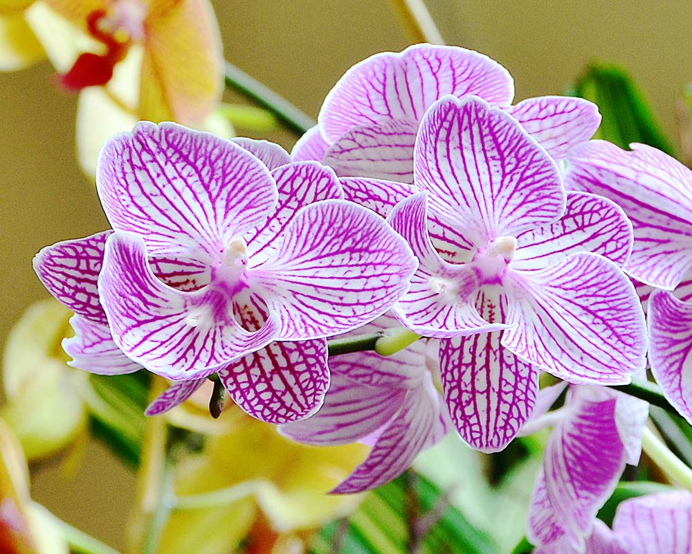 Orchids 02 at the Chicago Botanic Garden by Jeanne Selep