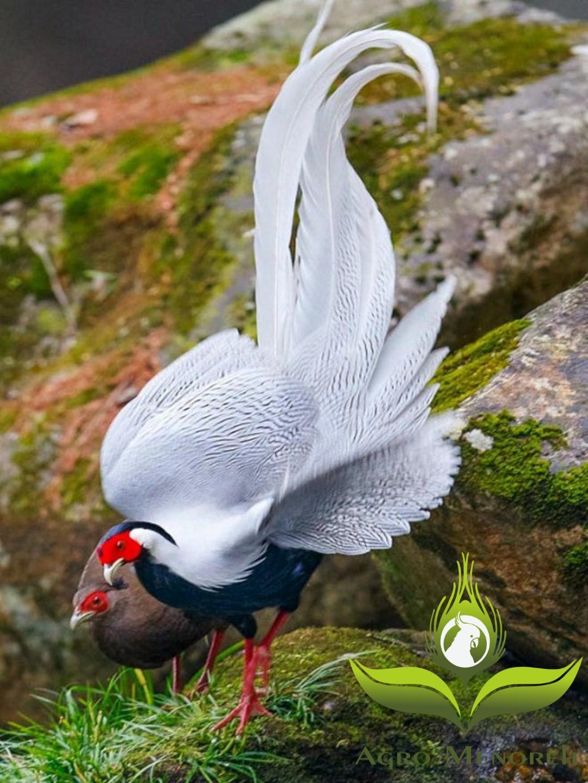 jual silver pheasant anakan