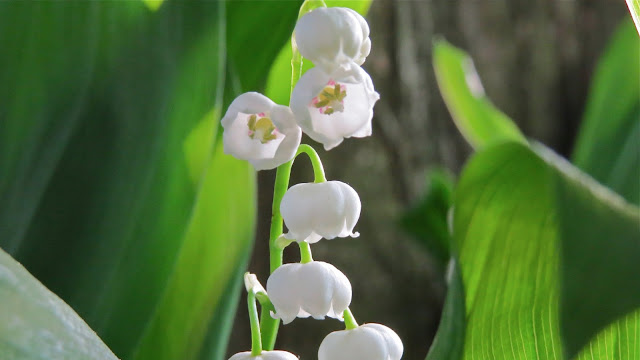 Backyard-Lily-of-the-Valley