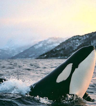 Orca, baleia ou golfinho? - Sorriso na Web