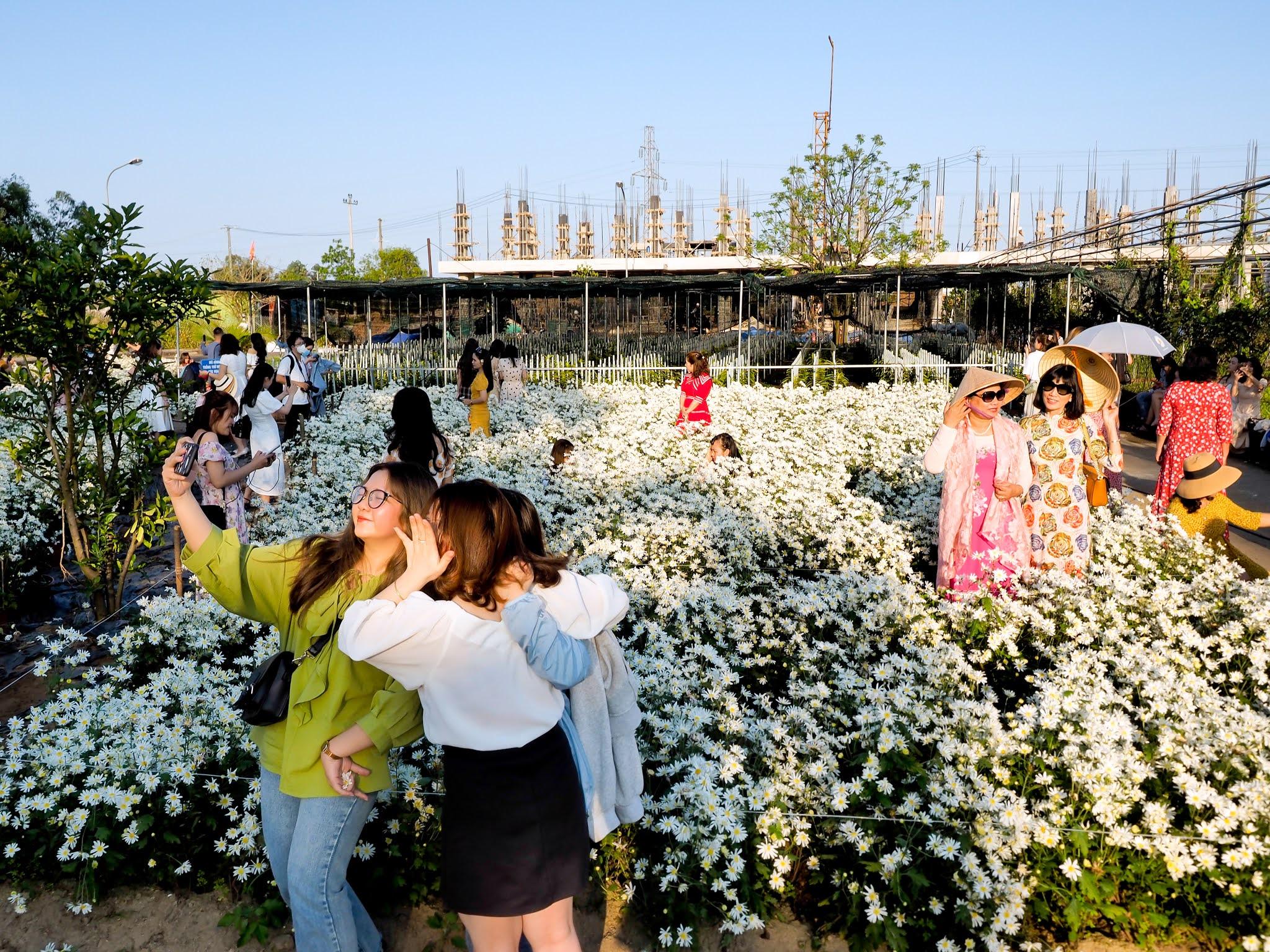 Thông tin chi tiết vườn cúc họa mi nở rộ trong nắng xuân tại Đà Nẵng