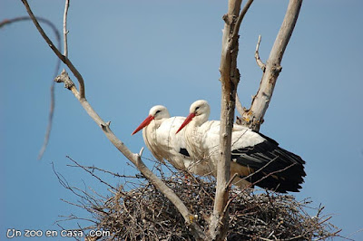 Pareja de cigüeñas en su nido en la Reserva de Sebes