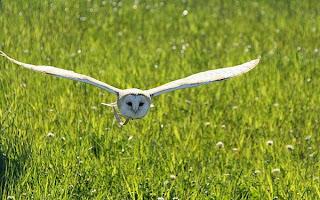 Melatih burung hantu FF atau free flight