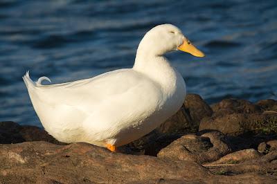 Domestic Goose, Rheudasil Park