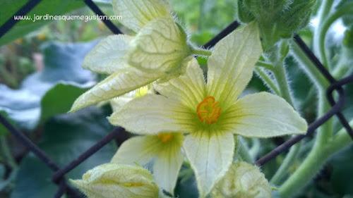 Flor de pepinillo del diablo (Ecballium elaterium)
