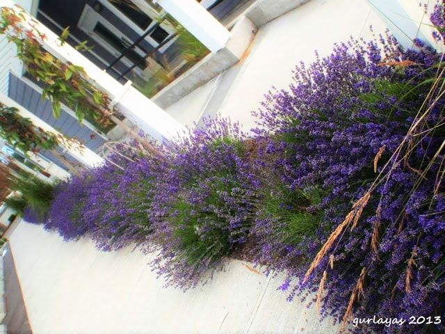 lavender at Puget Sound waterfront by gurlayas.blogspot.com