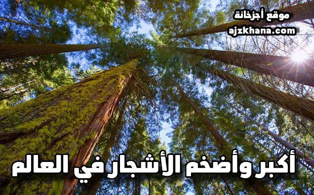 أكبر وأضخم الأشجار في العالم