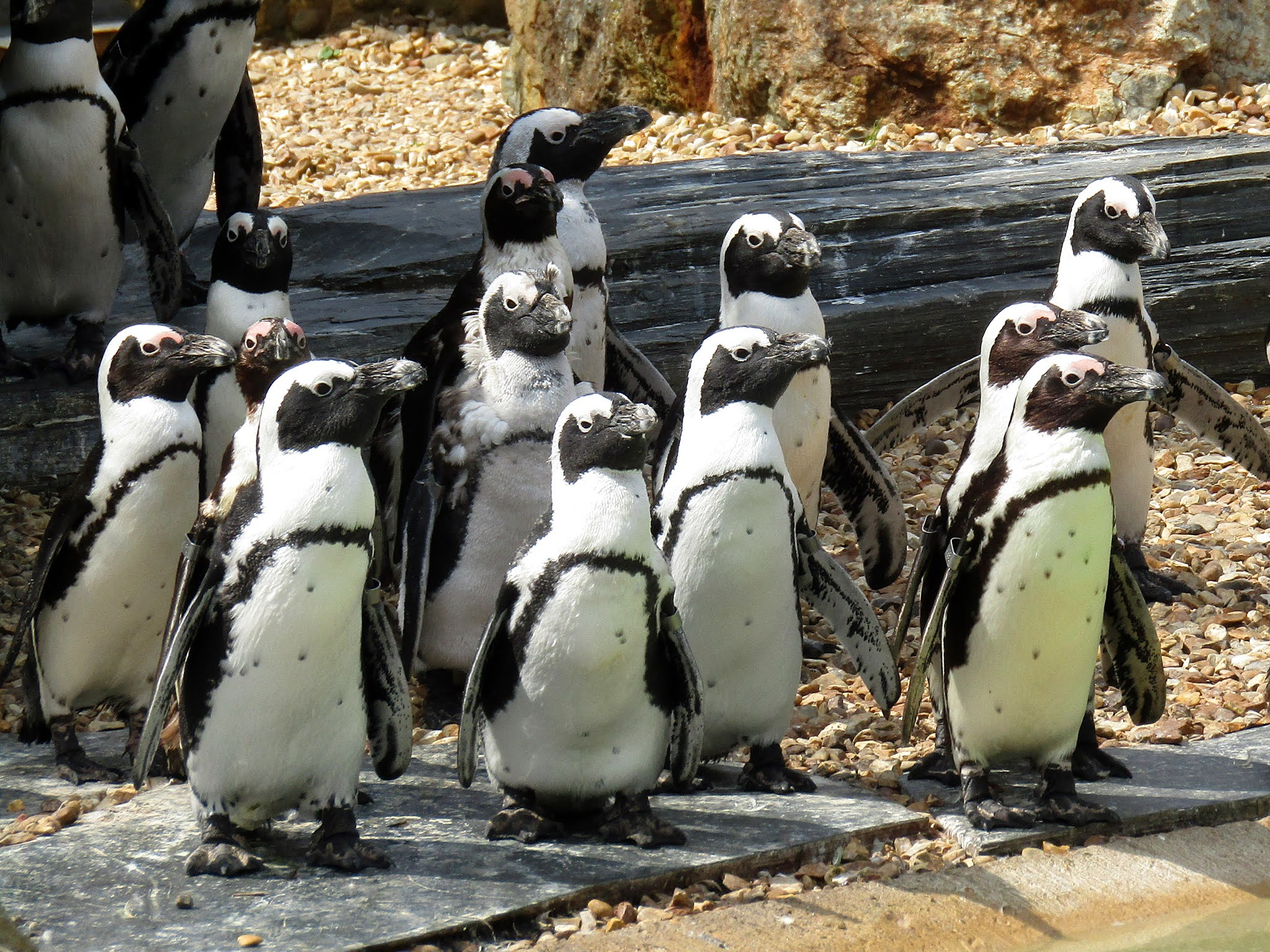 A photo of African black-footed penguins at Whipsnade Zoo.