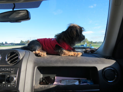 dog on car dashboard