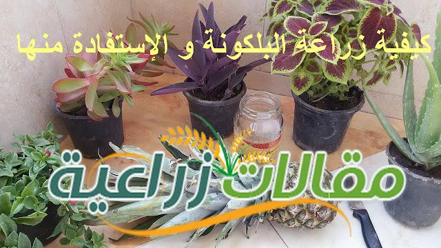 كيفية زراعة البلكونة و الإستفادة منها - مقالات زراعية