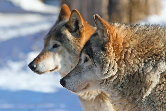 """""""Zöld listán"""" kategorizálja a veszélyeztetett fajok megőrzésének és talpra állításának helyzetét a Természetvédelmi Világszövetség"""