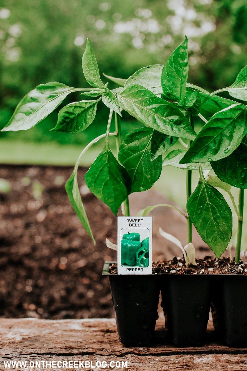 Sweet Bell pepper plant!