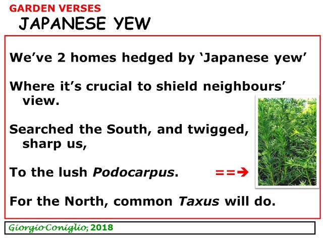 limerick; garden; yews; Taxus; Podocarpus; South Carolina; Ontario; Giorgio Coniglio
