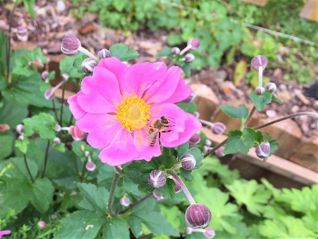 Biene auf Anemone