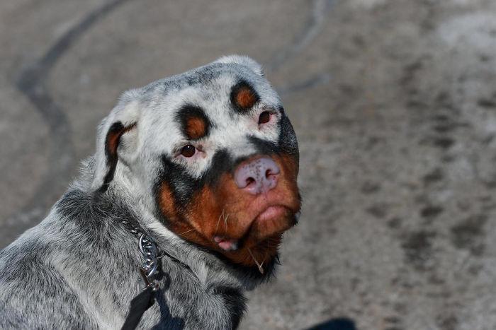 Perro Rottweiler con vitiligo