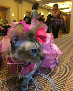 Coco, the Cornish Rex, at the BlogPaws PetSmart Welcome Reception