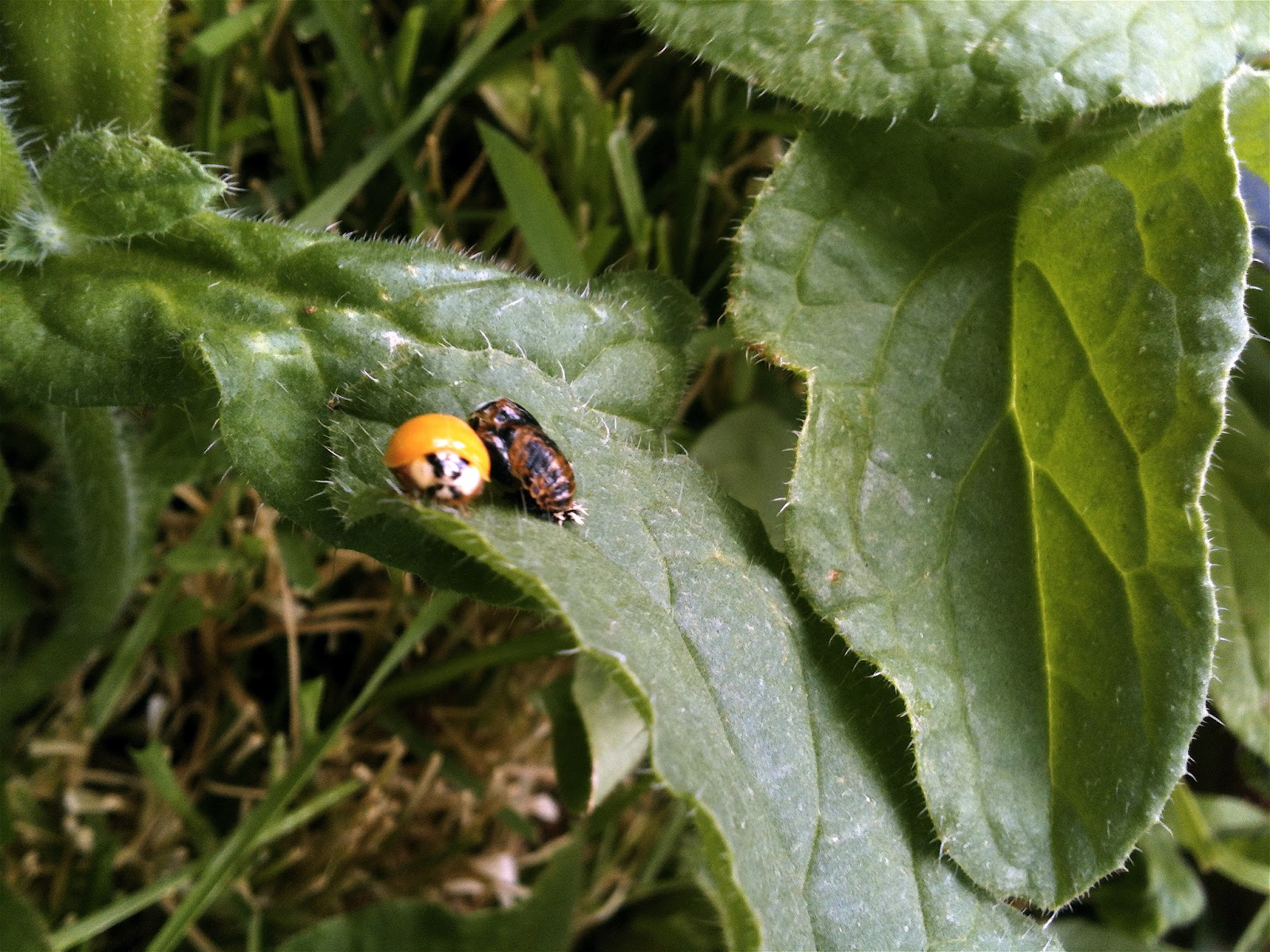 Orange Ladybug No Spots