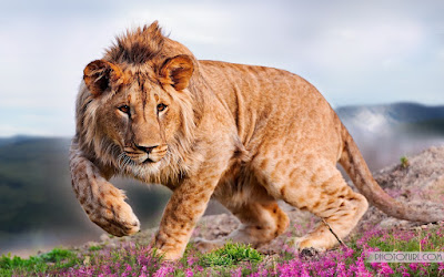 Letest and best Lion HD Wallpapers Lion Desktop Backgrounds,Photos in HD Widescreen High Quality