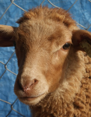 California Red Sheep Advantages, Disadvantages, Facts, Origin, Uses