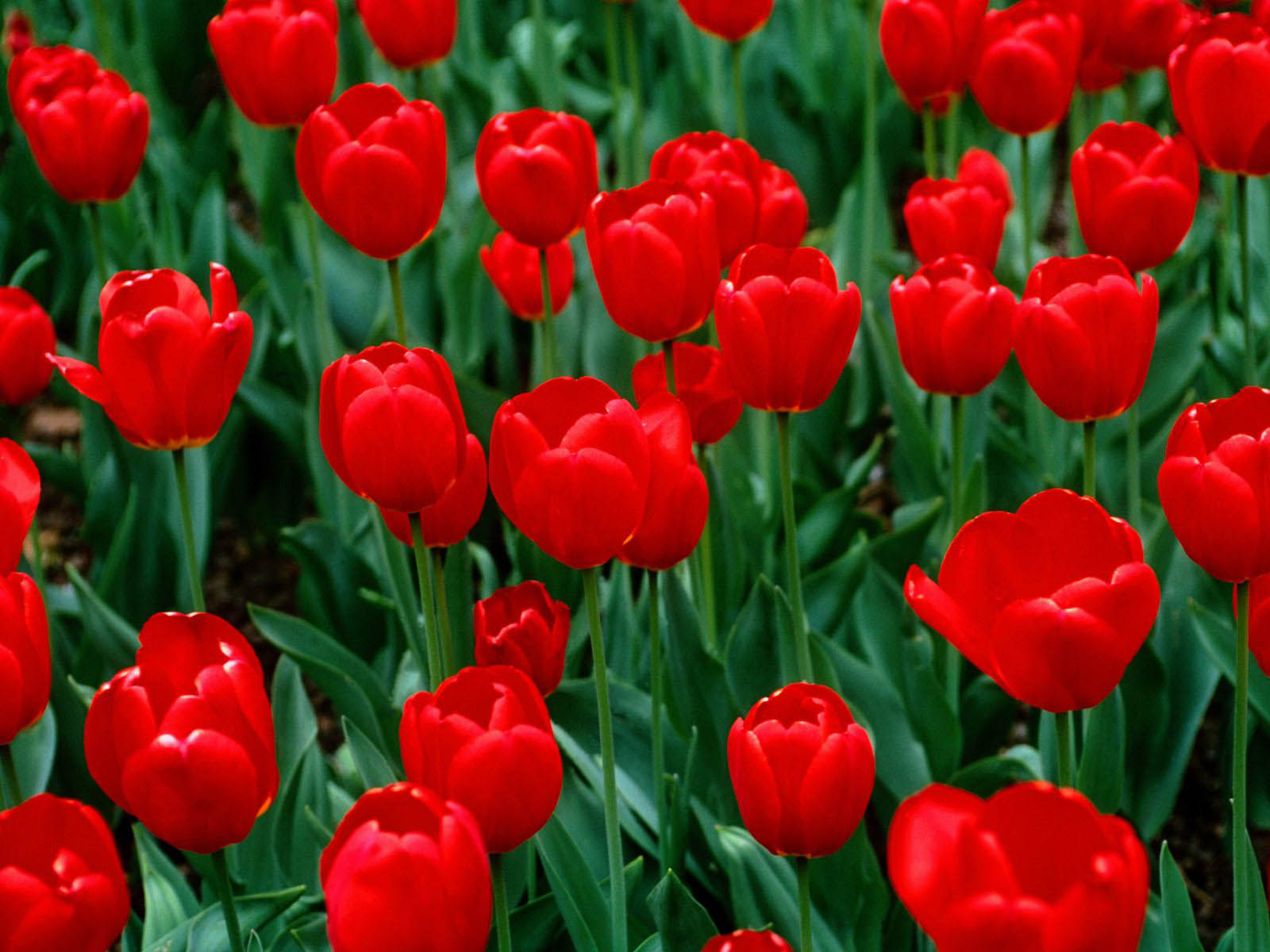 Wallpapers red tulips wallpapers - Red flower desktop wallpaper ...