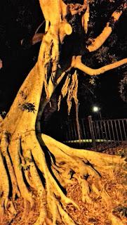 Baum im Teneriffe Park