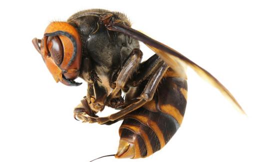Lebah Raksasa Asia