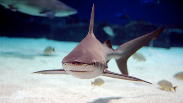 sandbar shark among fish