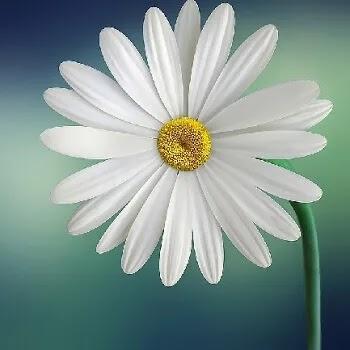 गुलबहार, Daisy flowers name in Marathi